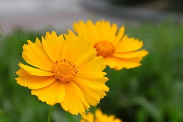 九月的花语是什么 朴实的矢车菊