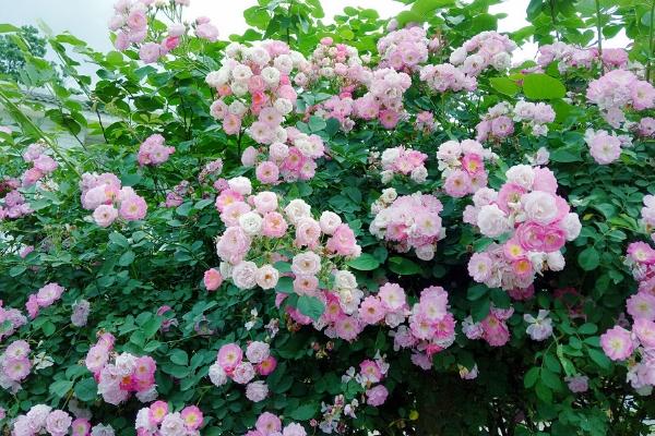 蔷薇和玫瑰的花语各是什么 关于爱情的花卉